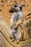 Female Meerkat, Suricata suricatta on guard Stock Images