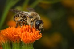 Leafcutter Bee Stock Image