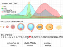 Female menstrual cycle, ovulation process and hormone levels. Detailed medical illustration royalty free illustration