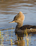 Female Merganser Royalty Free Stock Photos