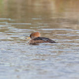 Female Merganser on pond Stock Photos