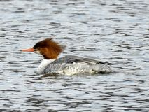 Female Merganser on a Rockland Lake Stock Photography