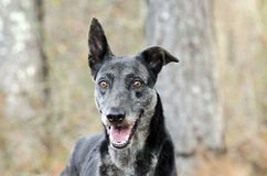 Merle Greyhound mixed breed dog. Female merle colored Greyhound sight hound mixed breed dog in pine tree forest. Outdoor pet adoption photography for Walton royalty free stock images