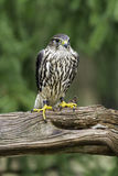 Female Merlin. A Female Merlin standing on a tree stump Royalty Free Stock Image