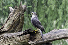 Female Merlin. A Female Merlin standing on a tree stump Royalty Free Stock Photography