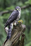 Female Merlin. A Female Merlin standing on a tree stump Stock Image