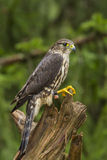 Female Merlin. A Female Merlin standing on a tree stump Stock Photography