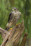 Female Merlin. A Female Merlin standing on a tree stump Stock Photos