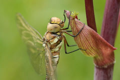 A female Migrant Hawker Aeshna mixta Dragonfly perched on Angelica disambiguation. Stock Photo