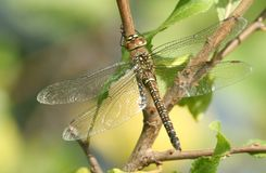 A female Migrant Hawker Dragonfly Aeshna mixta perched on a branch warming itself in the sun. Stock Image
