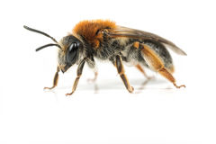 Female Mining Bee Stock Photo