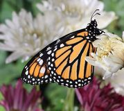 Female Monarch Butterfly stock photos