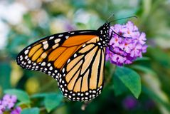 Female Monarch Butterfly (Danaus plexippus). Feeding on nectar from butterfly bush. Female monarchs have darker veins on their wings, and the males have a spot stock photo