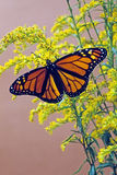 Female Monarch Butterfly Royalty Free Stock Images