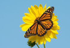 Female Monarch Butterfly Feeding On A Bright Yellow Wild Sunflower