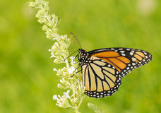 Female Monarch butterfly feeding on white Butterfly Bush fllower Royalty Free Stock Photos
