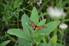 Female Monarch Butterfly laying egg. S on millkweed in Ontario, Canada royalty free stock photo
