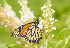 Female Monarch butterfly on a white Butterflybush Stock Photo