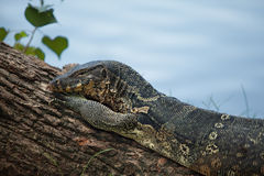 Female of a monitor lizard Royalty Free Stock Photography