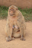 Female monkey Royalty Free Stock Photo