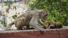Female monkey with cub stock video footage