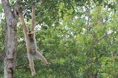 Female monkey hanging out Stock Photography