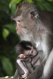 Female Monkey with Infant. A female long tailed macaque with her infant at breast, Sacred Monkey Forest, Ubud. Bali, Indonesia Stock Images