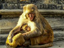 Female monkey protecting baby, Nepal. Female monkey protecting its baby, Kathmandu, Nepal Royalty Free Stock Photo