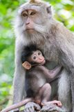Female monkey and it`s cute baby breast feeding. Indonesia. Closeup adult female monkey and it`s cute baby breast feeding. Animals behavior in wild nature. Bali Stock Image