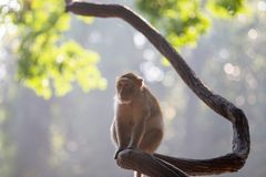 The female monkey sits alone on a limb Royalty Free Stock Image