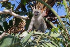 Female monkey sitting in tree. royalty free stock photo