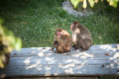 The female monkey takes care one baby monkey in a safari. The female monkey takes care one baby monkey in a  Parc Safari Stock Photography