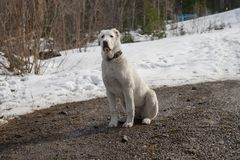A white dog sits on the road, against the background of a snowy forest. Female 7 months old. Alabai is a Central Asian and Turkmen Shepherd Royalty Free Stock Images