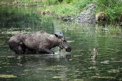 Female Moose. Wading through a pond in Montana Royalty Free Stock Photography