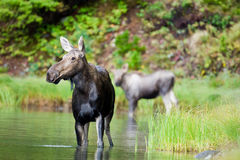 Female Moose. Standing in Pond with Calf in Background Royalty Free Stock Photos