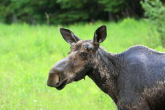 Female moose Royalty Free Stock Photography