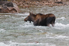 Female moose, alces alces, in Medicine River Stock Images
