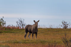 Female moose alces alces. Portrait of female moose alces alces starring and standing Royalty Free Stock Photo