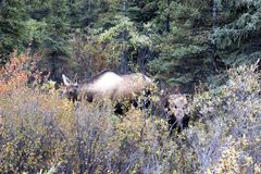 FEMALE MOOSE WITH BABY CALF IN FALL FORREST. Mother female moose with baby calf in the fall forrest colours. Taken in Denali National Park in Alaska Royalty Free Stock Photos