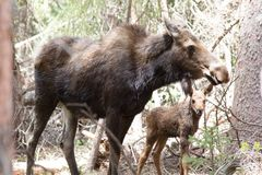 Female Moose and Baby Moose. This is a female mom moose and her young baby in Rocky Mountain National Park, Colorado. Mom is very protective of her baby, and the stock photography