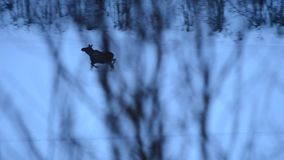 Female moose and calf walking on river ice in winter. In the arctic circle stock video footage