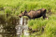 Female Moose in Colorado. Female Moose in the tall grass in Colorado Stock Images