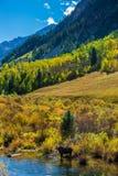 Female Moose in the Conundrum Creek Colorado Stock Photos