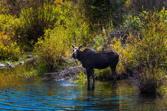 Female Moose in the Conundrum Creek Colorado. Moose Feeding in the Conundrum Creek Colorado Royalty Free Stock Photo