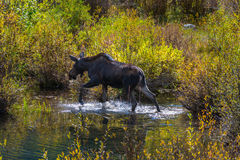 Female Moose in the Conundrum Creek Colorado. Moose Feeding in the Conundrum Creek Colorado Stock Photos