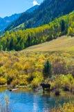 Female Moose in the Conundrum Creek Colorado Stock Image