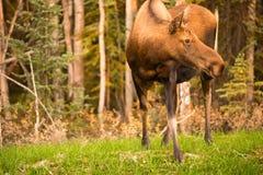 Female Moose Cow Feeding On Grass Alaska Wilderness Stock Photo