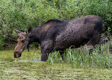 Female Moose Drinks from Algae Covered Water Royalty Free Stock Images