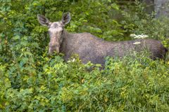 Female moose or elk looking in camera stock photos