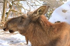 A female moose - Eurasian elk Royalty Free Stock Photos